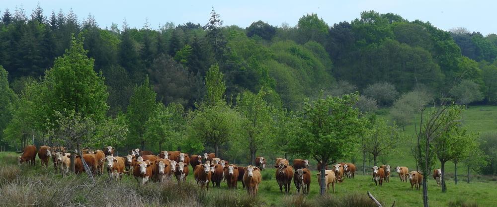 Troupeau de bovins dans le verger de poiriers.